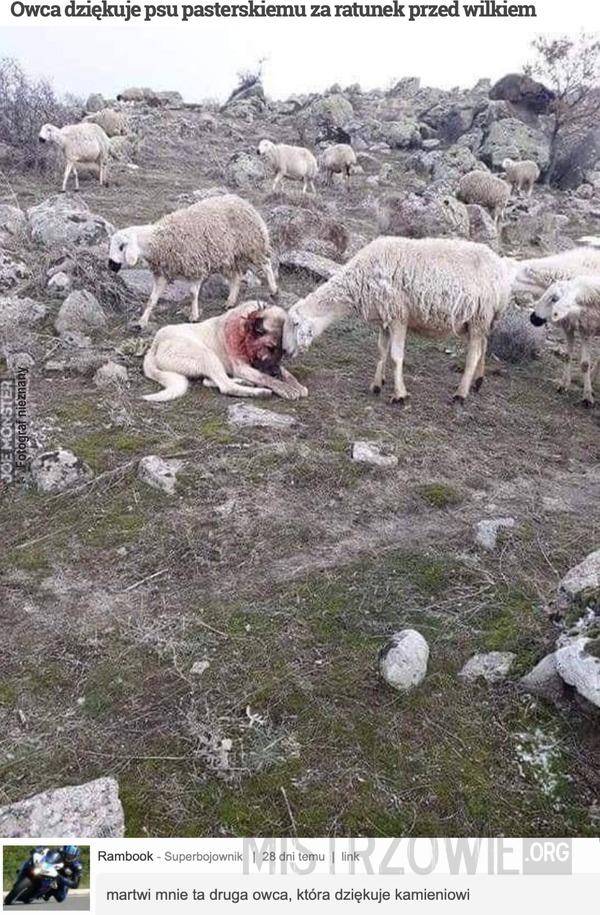 Owca dziękuje psu pasterskiemu za ratunek przed wilkiem